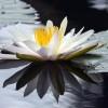 lotus-2701534-340